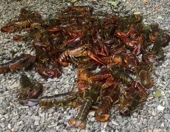 Lobsters before