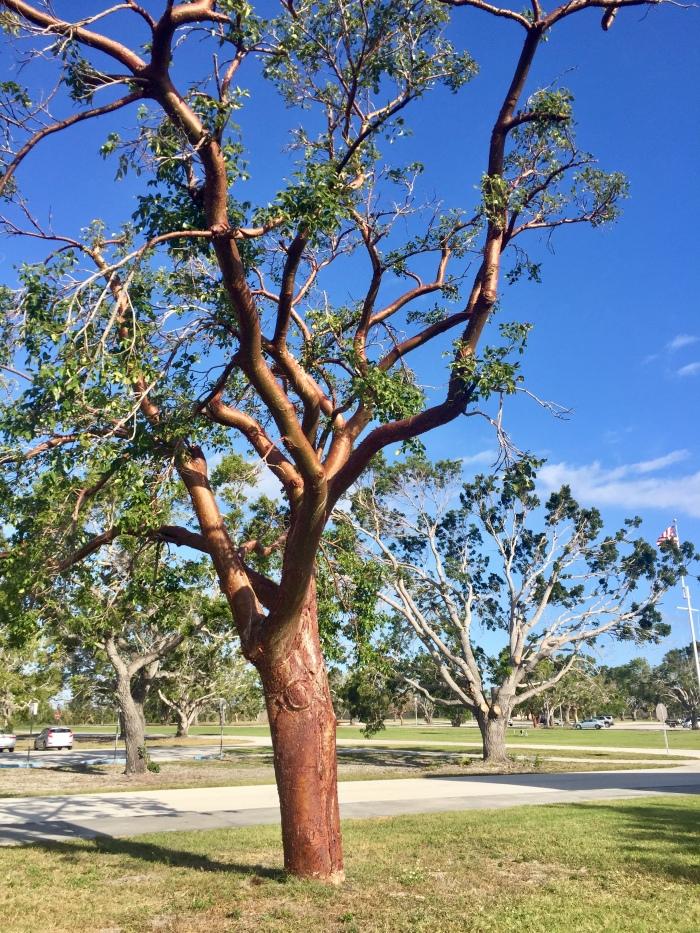 Gumbo Limbo Tree.jpg